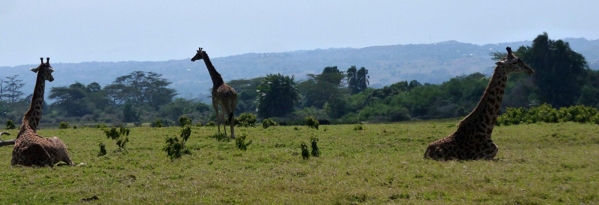 10-dia-2-agosto-jirafas-camino-de-momella-gate